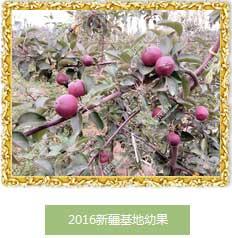 最优惠的畅销的红肉苹果苗、市辖区、朝阳区国农宝兴红肉苹果全