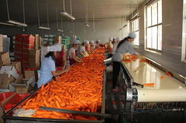 供应胡萝卜输送机,厂家直销